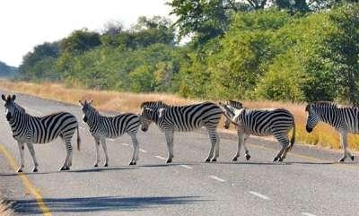 odd-news-the-real-zebra-line