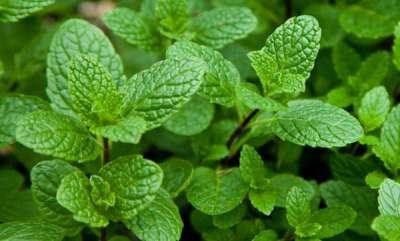 ayurveda-health-benefit-of-mint-leaves