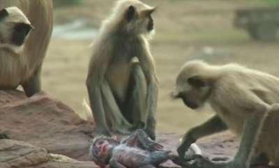 environment-spy-monkey-mistaken-for-dead-baby-and-mourned-by-troop-bbc-earth