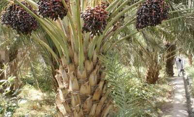 world-date-palm-sector-threatened-riyadh-plans-to-recruit-foreign-workers