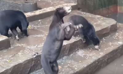 environment-emaciated-bears-beg-for-food