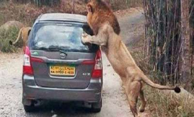 odd-news-lion-attacking-travelers-car-in-bangalore