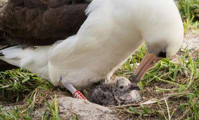 odd-news-the-worlds-oldest-known-wild-bird-is-a-mom-again