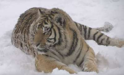 environment-chubby-siberian-tigers-hunt-electronic-bird-of-prey