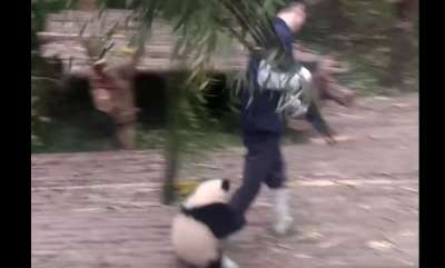 environment-panda-wants-a-hug-from-nanny-but-nanny-is-working