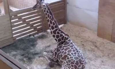 odd-news-giraffes-delivery