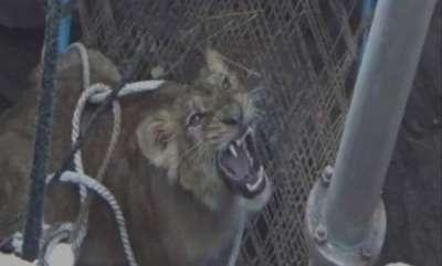 latest-news-lion-fell-into-a-50-feet-deep-well