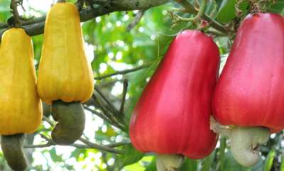 health-news-cashewnut-juice