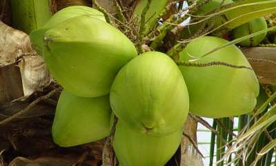 life-style-health-benefit-of-tender-coconut-water-with-honey