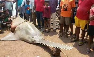 latest-news-sawfish