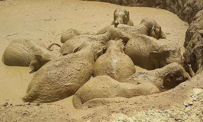 environment-the-great-escape-eleven-wild-elephants-including-a-baby-are-rescued-from-a-mud