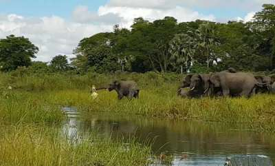 latest-news-elephant-lucky-from-the-jaws-of-crocodile
