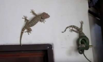environment-lizard-and-snake-fight