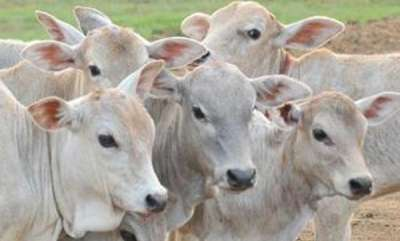 latest-news-aadhaar-cards-for-cows-to-cost-govt-rs-148-crore