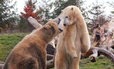 environment-ohio-zoo-euthanasias-29-year-old-polar-bear-that-had-cancer