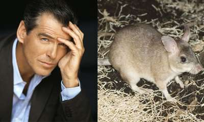 odd-news-pierce-brosnan-eat-rat-meat-after-misjudgement