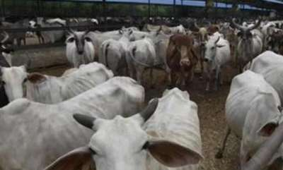 latest-news-around-152-cows-starved-to-death-in-kanpur-cow-shelter