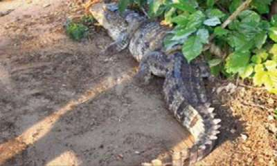 latest-news-family-finds-7-foot-long-crocodile-on-its-doorstep