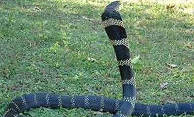 environment-king-cobra-in-thattekadu-bird-sanctury