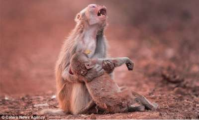 odd-news-heartbroken-monkey-clutches-her-child-after-it-collapsed