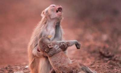 environment-monkey-cries-out-for-collapsed-son