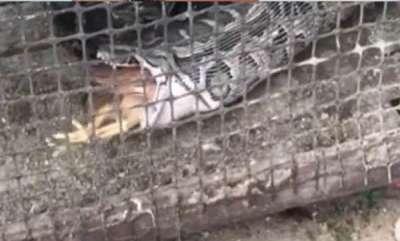 odd-news-huge-python-stuck-in-chicken-farm