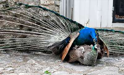 latest-news-visitors-increased-in-palakkad-peacock-protection-center