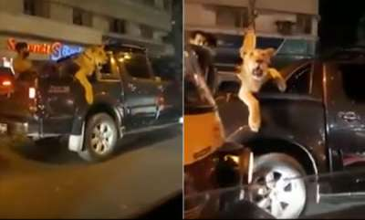 odd-news-man-filmed-taking-lion-out-for-a-drive