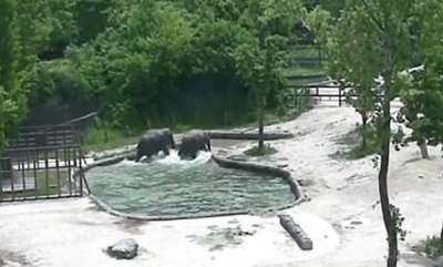 odd-news-elephants-save-a-calf-from-drowning