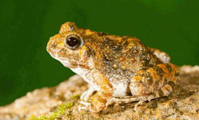 environment-the-discovery-of-four-new-frog-species-confirms-western-ghats-region