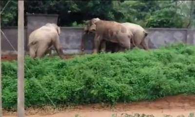 odd-news-three-elephants-work-together-to-break-down-a-wall-and-escape