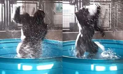 odd-news-pool-party-hilarious-moment-zola-the-gorilla-furiously-dances-in-his-tub