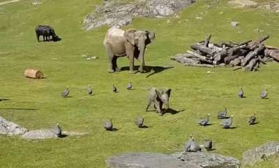 environment-baby-elephant-chases-birds-to-play-falls-face-down