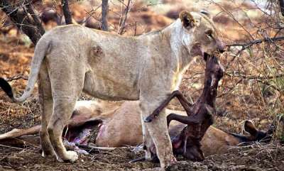 odd-news-what-lion-did-after-she-came-to-know-that-her-prey-was-pregnant