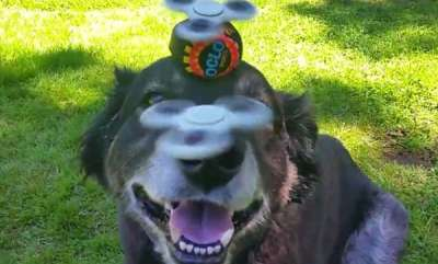 odd-news-dog-effortlessly-balancing-spin-wheel-and-ball-on-head