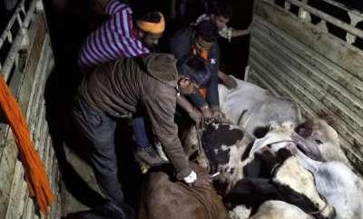 latest-news-97-of-cow-vigilantes-since-2009-struck-during-the-modi-regime
