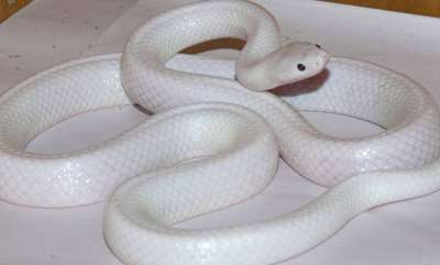 environment-albino-snake-with-incredibly-rare-mutation-discovered-and-immediately-placed-in-quarantine-for-its-own-protection