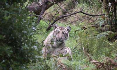 environment-wildlife-photographer-spots-rare-tiger-in-nilgiris