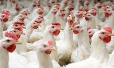 latest-news-chicken-rate-issue