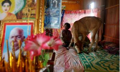 odd-news-cambodia-widow-sees-dead-husband-in-five-month-old-calf