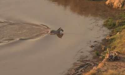 odd-news-zebras-death-getting-viral