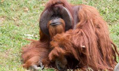 odd-news-world-famous-orangutan-died