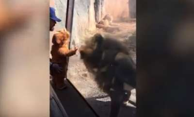 odd-news-a-cute-baby-dressed-as-lion-comes-face-to-face-with-real-one-at-the-zoo-atlanta