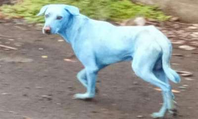 odd-news-why-are-dogs-turning-blue-in-this-mumbai-suburb