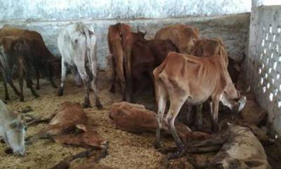 latest-news-200-cows-die-of-starvation-at-a-shelter-run-by-bjp-leader