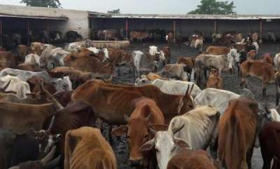latest-news-90-more-cows-starved-to-death-in-cow-shelter-owned-by-bjp-leader