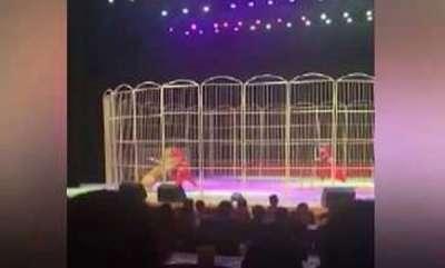 odd-news-tiger-attack-trainer-in-zoo
