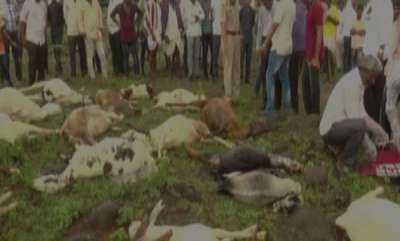 latest-news-karnataka-34-sheep-succumb-to-chemical-poisoning