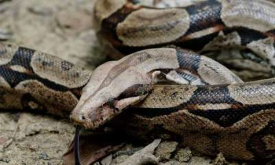 environment-pregnant-boa-gives-birth-to-six-slippery-babies-in-fascinating-video