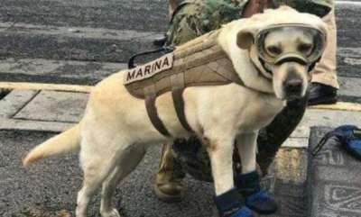 latest-news-meet-frida-the-labrador-who-has-saved-52-lives